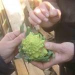 Gemüse. das für die EU zu klein ist